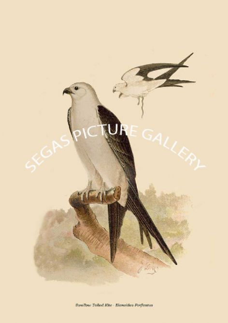 Fine art print of the Swallow Tailed Kite - Elanoides Forficatus by Robert Ridgway (1893)
